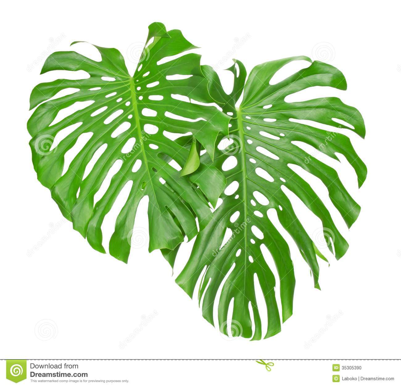 Two Tropical Leaves Stock Photo   Image  35305390