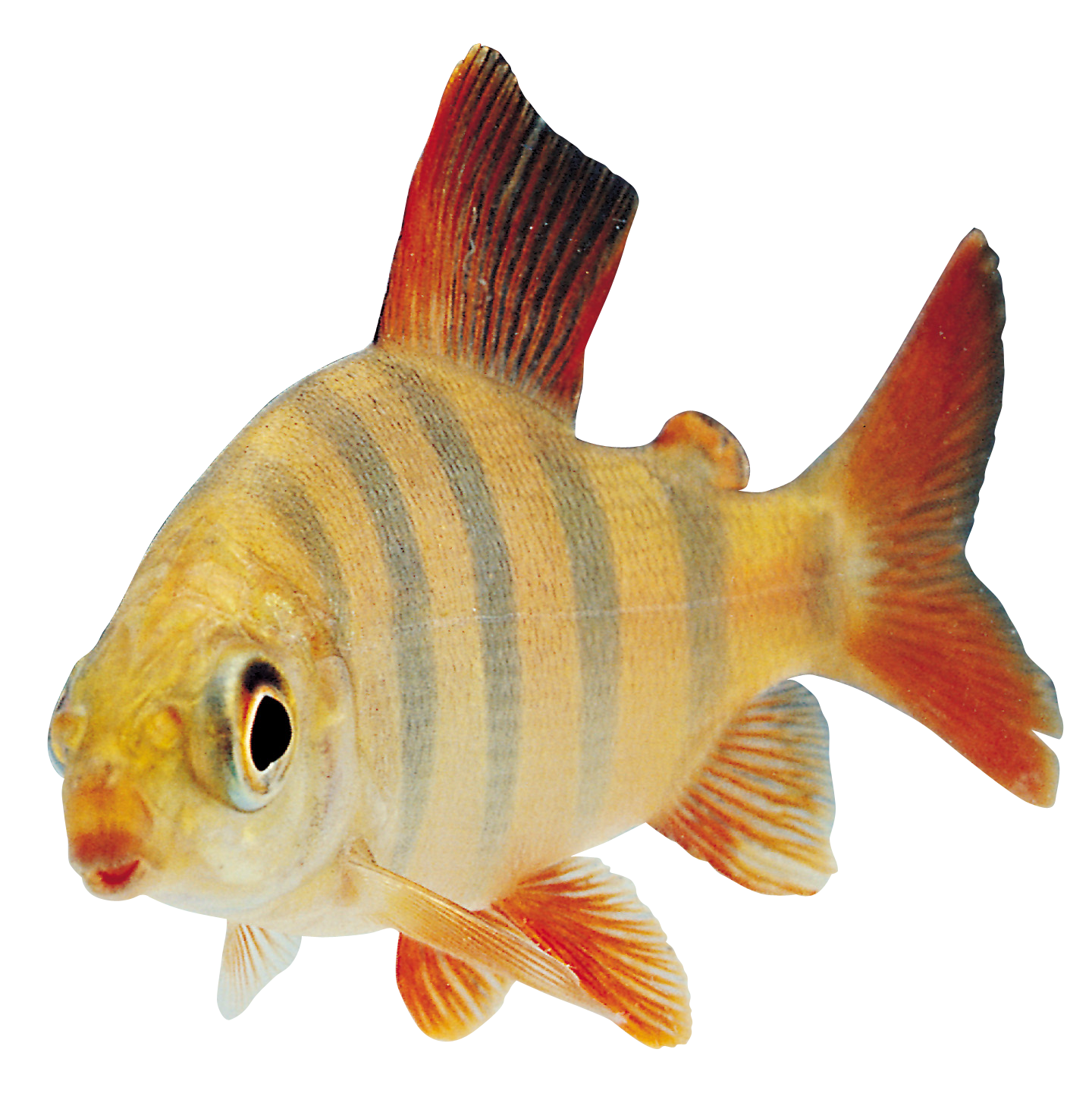 Fish Transparent Png By Absurdwordpreferred Png