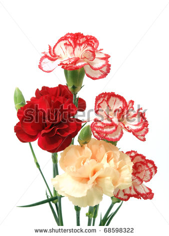 Carnation Flower Stock Photos Illustrations And Vector Art