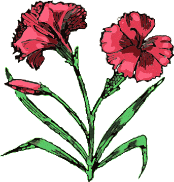 Terms Carnation Flower Red Carnations Two Carnations Search Terms