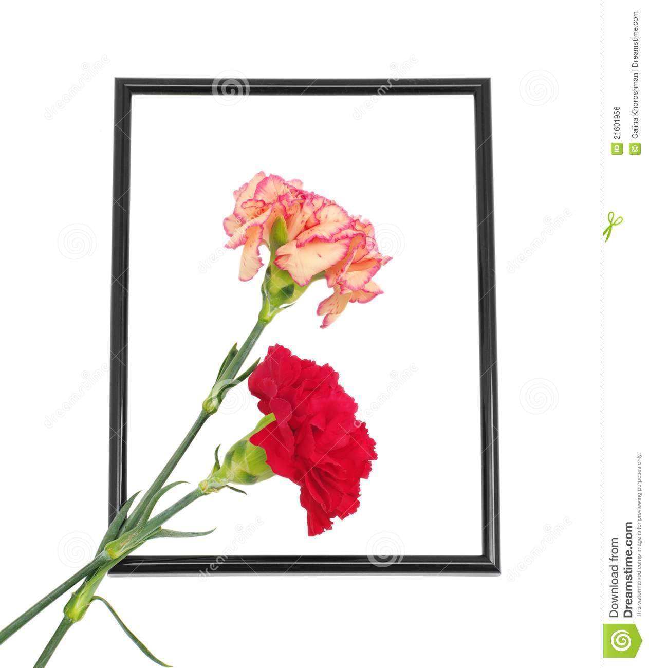 Two Carnations In Black Framing Royalty Free Stock Image   Image