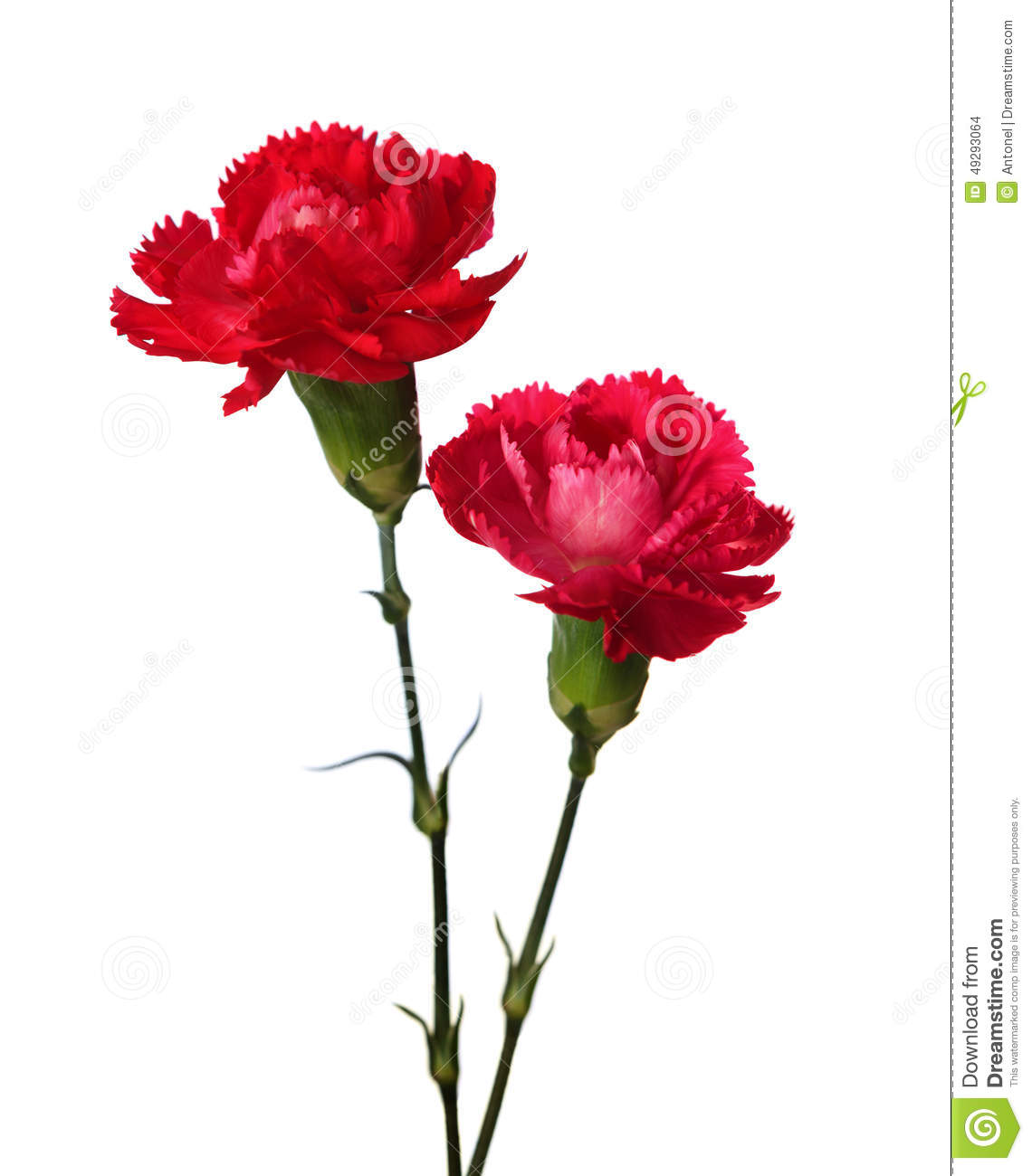 Two Carnations Stock Photo   Image  49293064