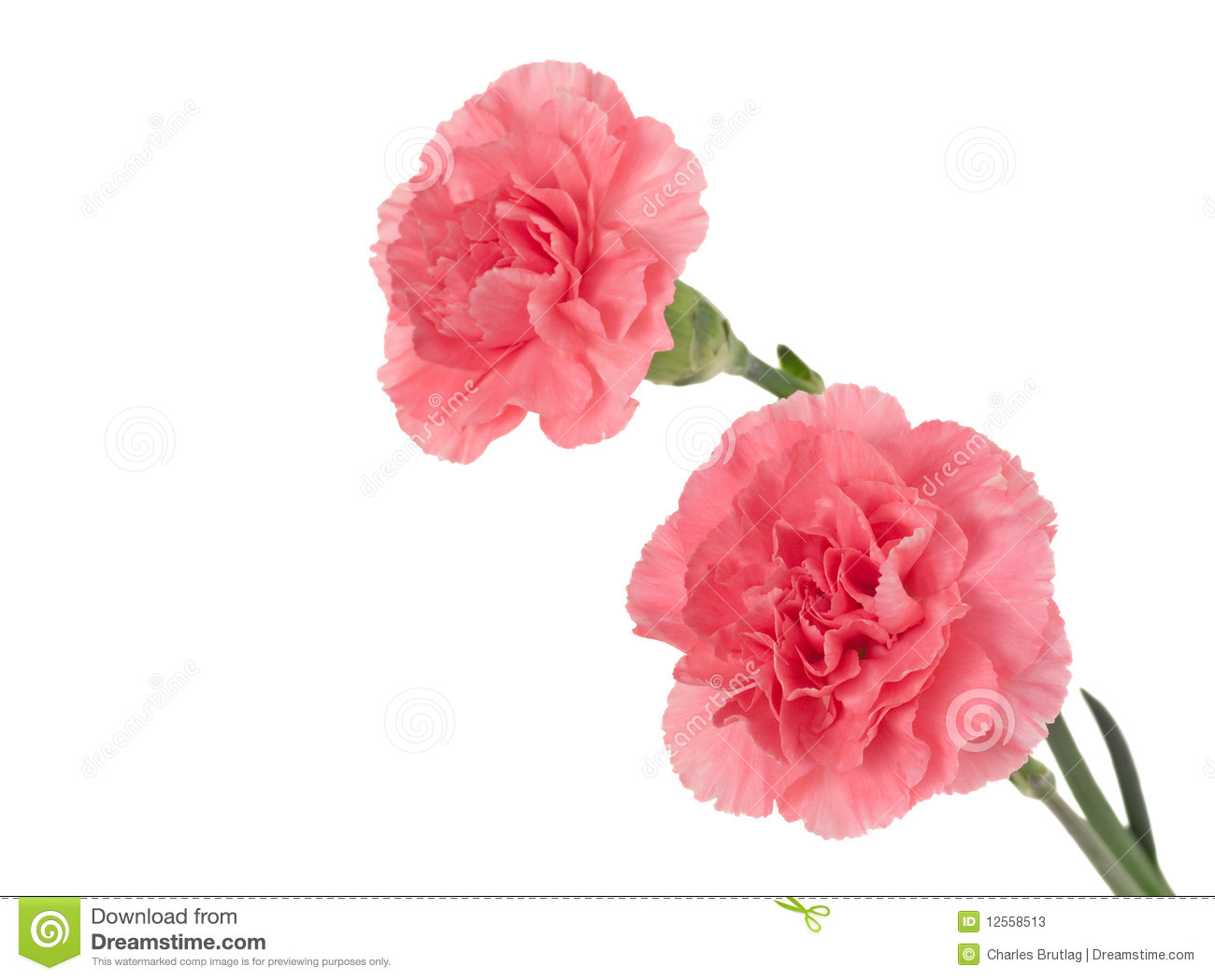 Two Pink Carnations Isolated On A White Background