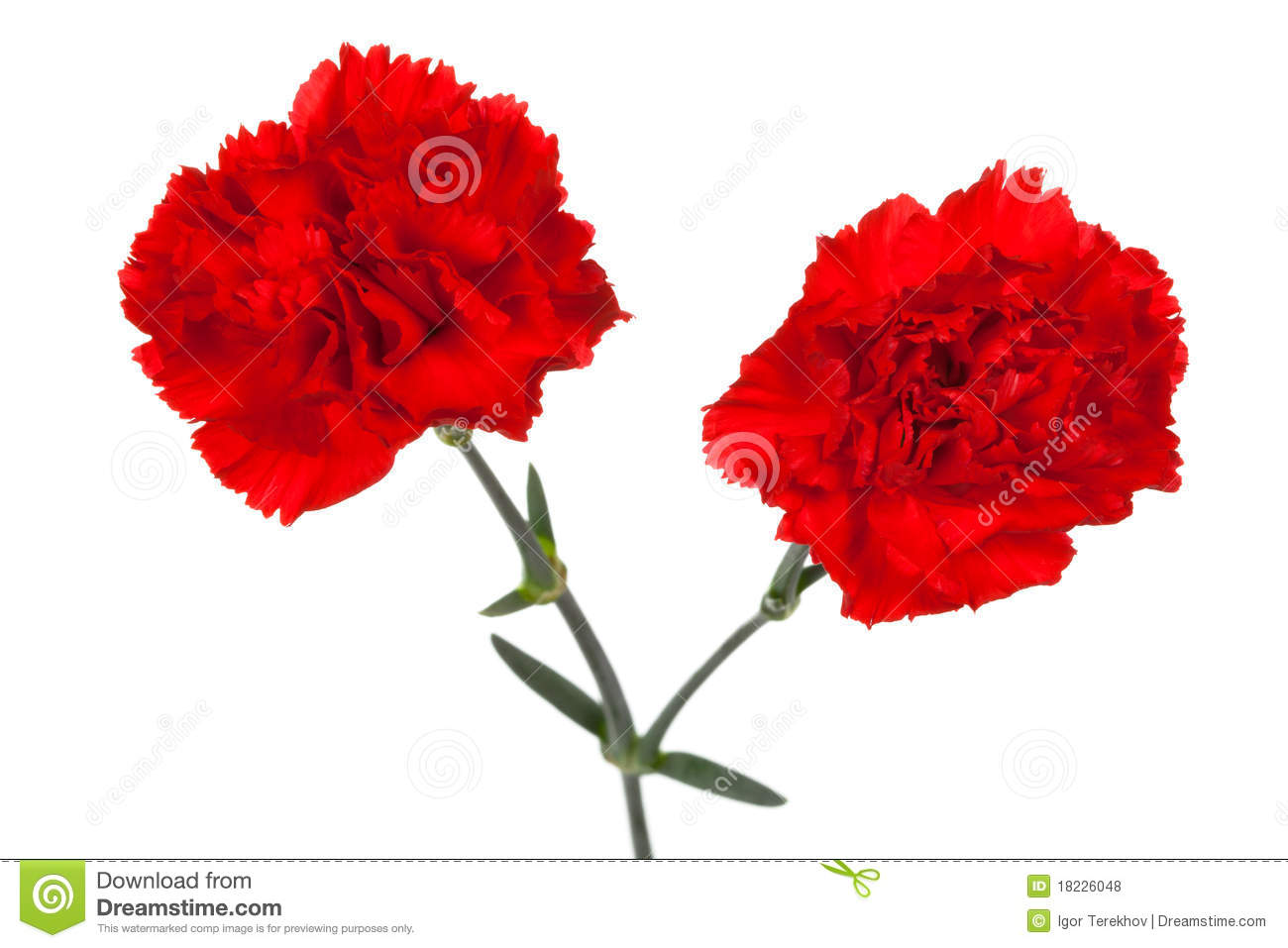 Two Red Carnations Royalty Free Stock Photos   Image  18226048