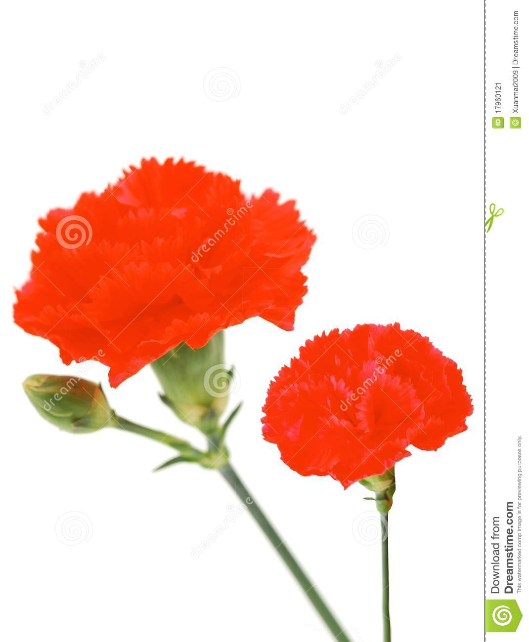 Two Red Carnations Stock Image   Image  17960121