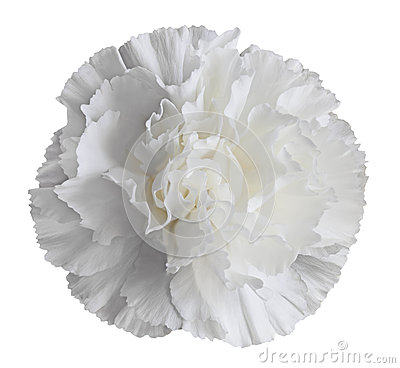 White Carnation Flower Royalty Free Stock Image   Image  29775256