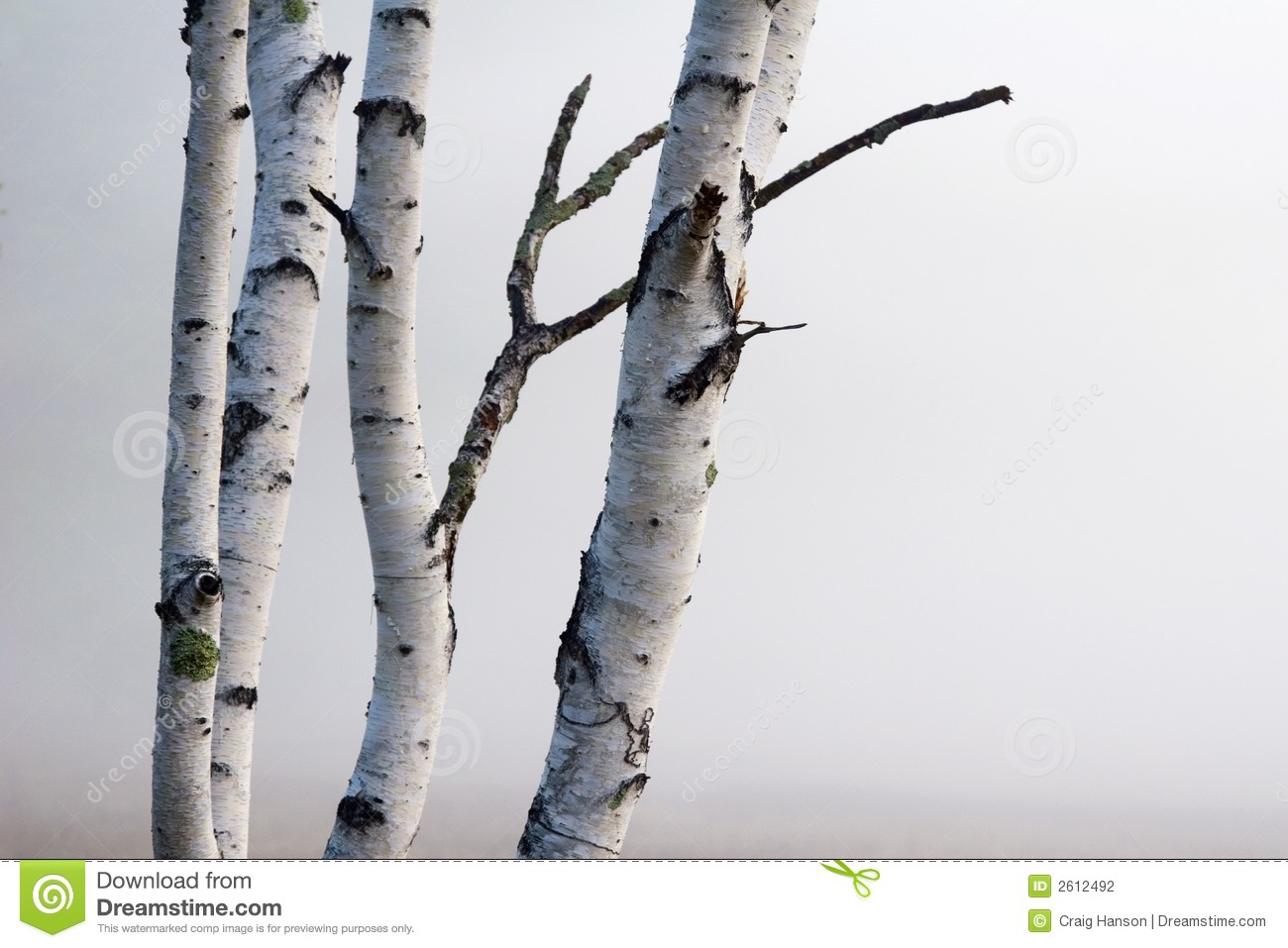 Birch Tree Clipart Birch Trees In The Fog