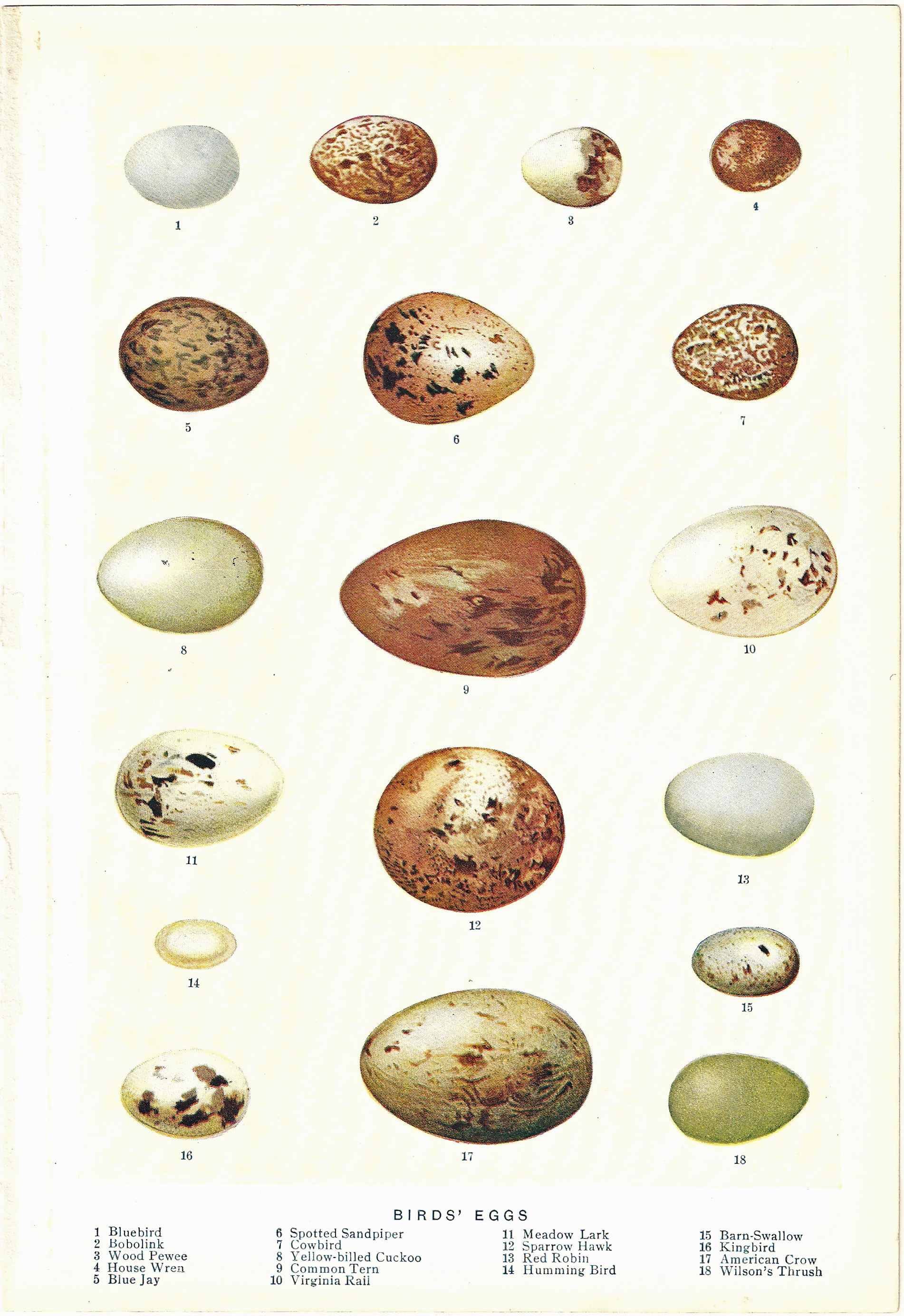 Free Vintage Clip Art   1903 Bird Eggs Chromolithograph