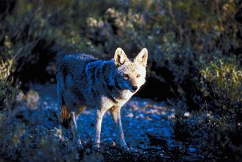 Farmers Lost Fewer Animals To Coyotes