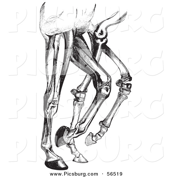 Gallery For   Anatomy Images And Clip Art Of Leg Muscles