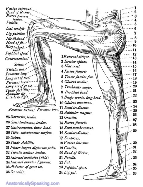 Leg Muscle Diagram Image Search Results