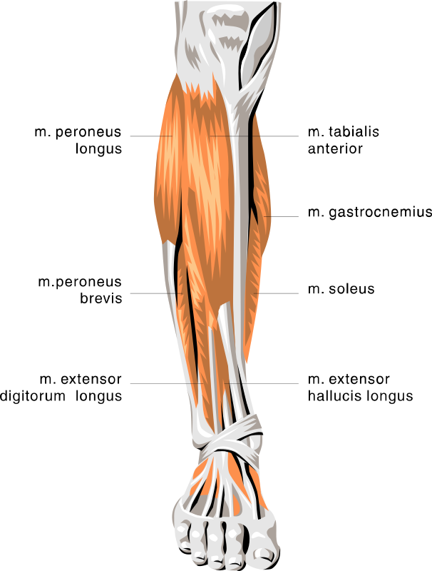 Leg Muscles    Medical Anatomy Muscle Anatomy Lower Leg Muscles Png