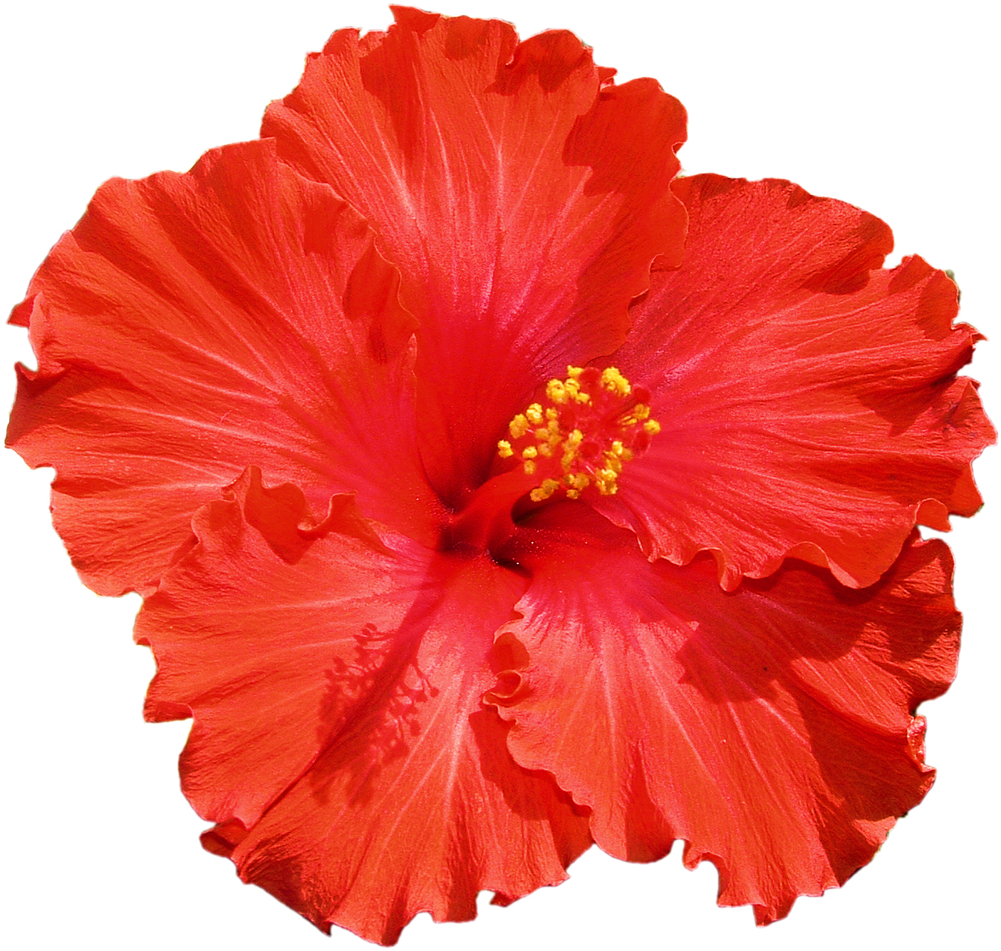 Hibiscus   Free Images At Clker Com   Vector Clip Art Online Royalty