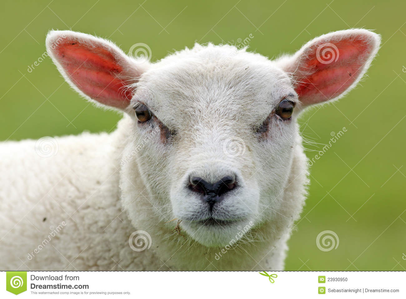 Spring Lamb Stock Photo   Image  23930950