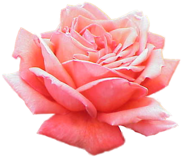Extracted Pink Rose   Free Images At Clker Com   Vector Clip Art