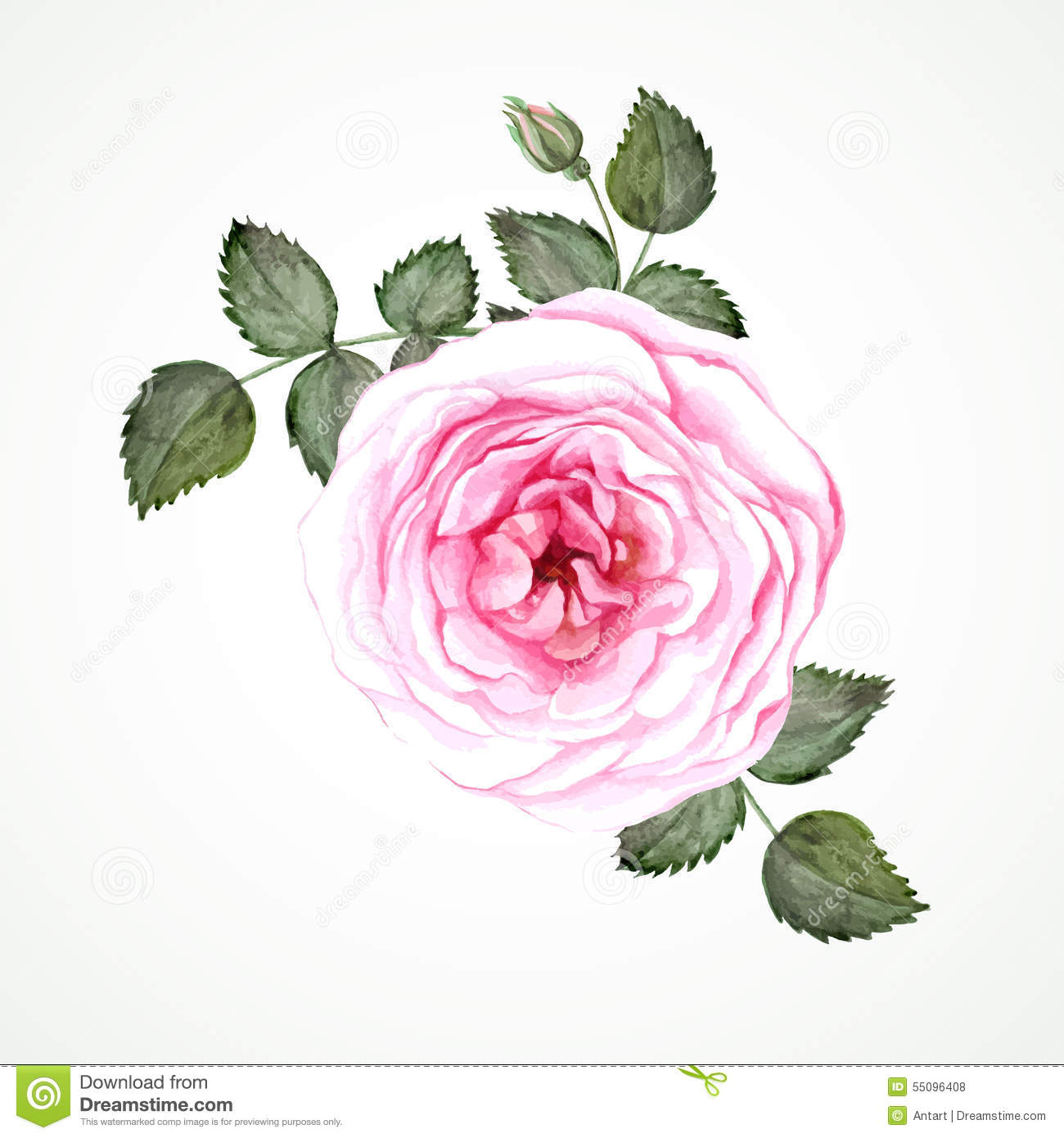 Pink Tea Rose Blossom With Leaves And Bud  Watercolor Image