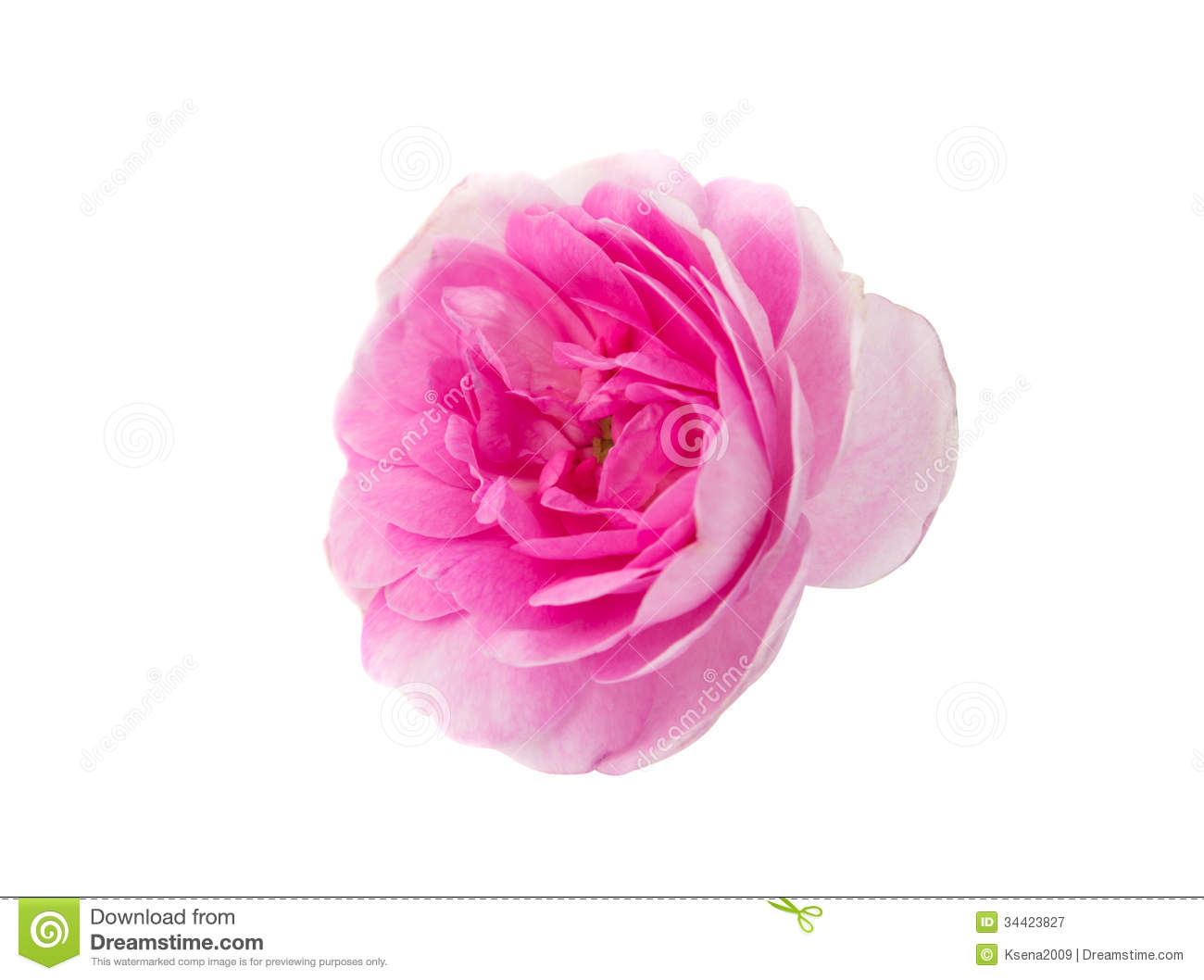Pink Tea Rose Royalty Free Stock Photography   Image  34423827