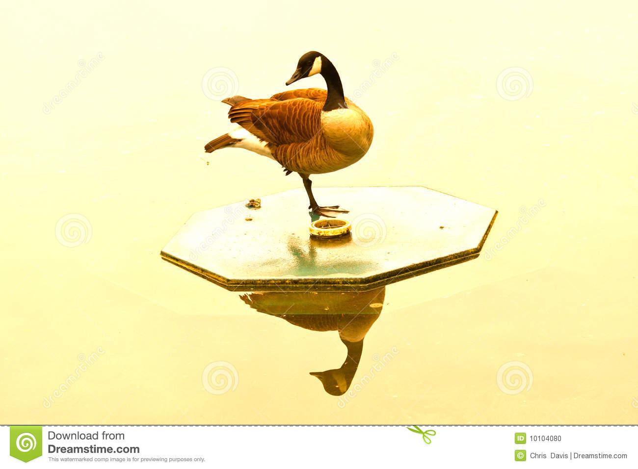 Golden Goose Stock Photo   Image  10104080