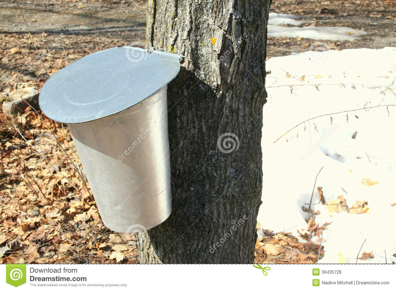 Bucket For Collecting Maple Sap Royalty Free Stock Photos   Image