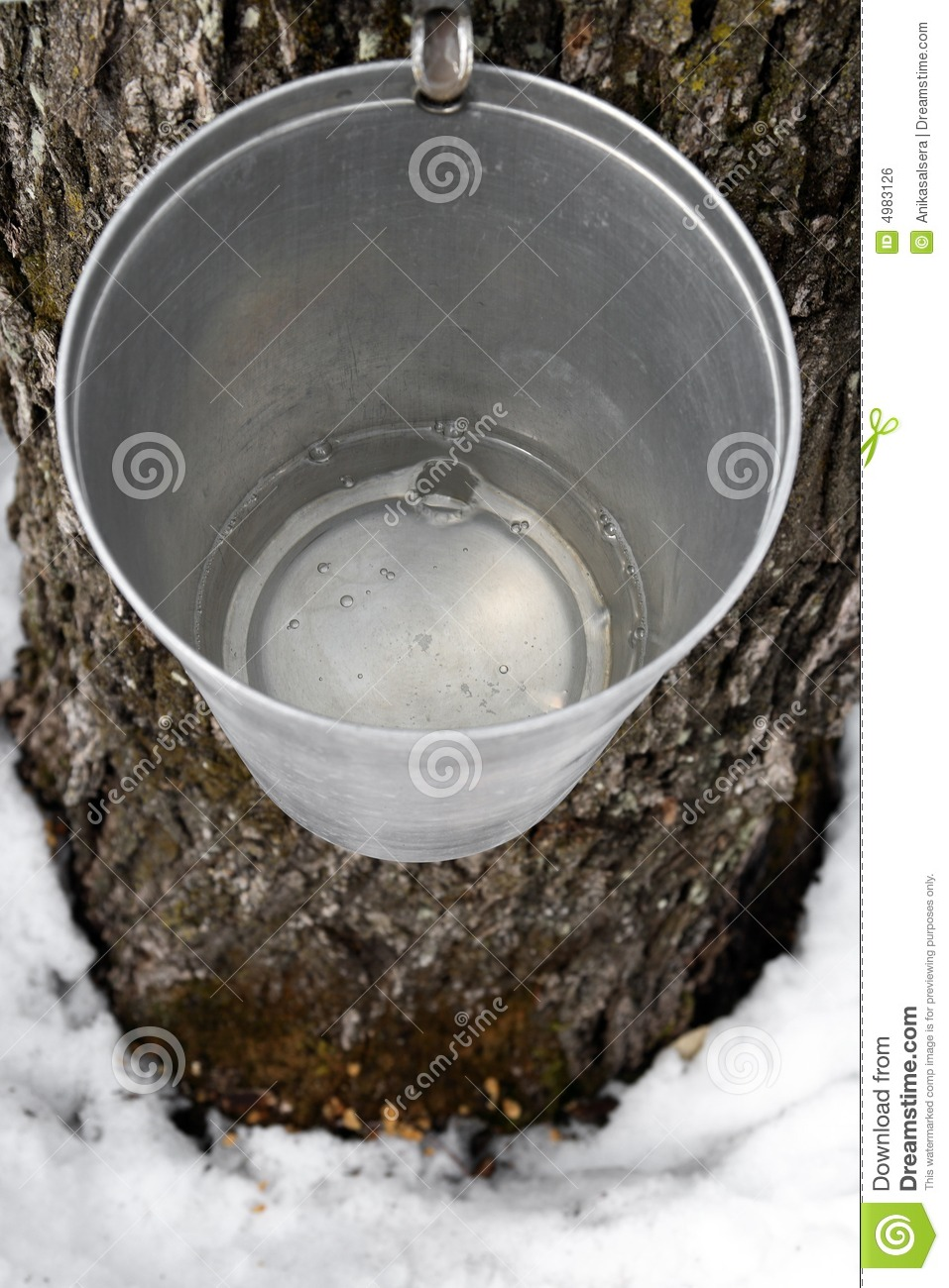 Bucket On A Tree Filled With Maple Sap Royalty Free Stock Image