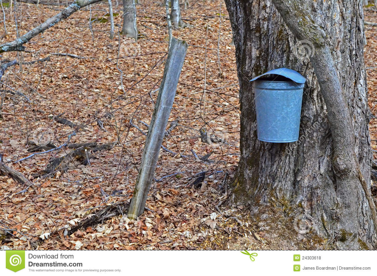 Maple Tree With A Sap Bucket Royalty Free Stock Photos   Image