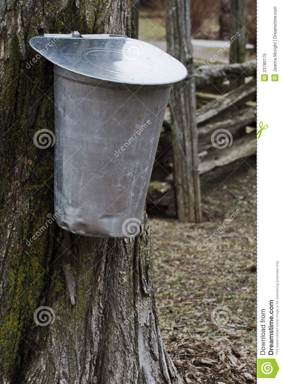 Sap Buckets Hangs From Sugar Maple Tree In Early Spring With Split