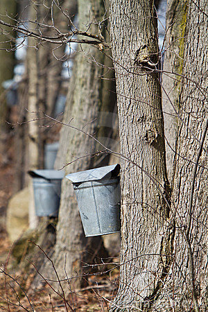 Sap Buckets Royalty Free Stock Image   Image  18888576