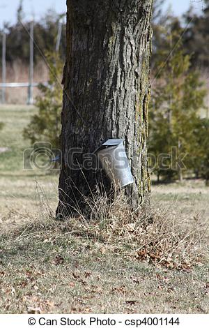Sap Buckets Used To Collect The Sap For Syrup On Maple Tree In A Very