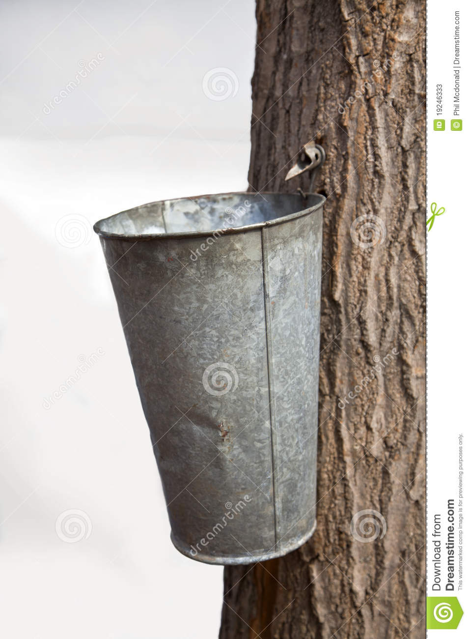 Spigot Tapped Into A Maple Tree To Collect Sap For Maple Syrup