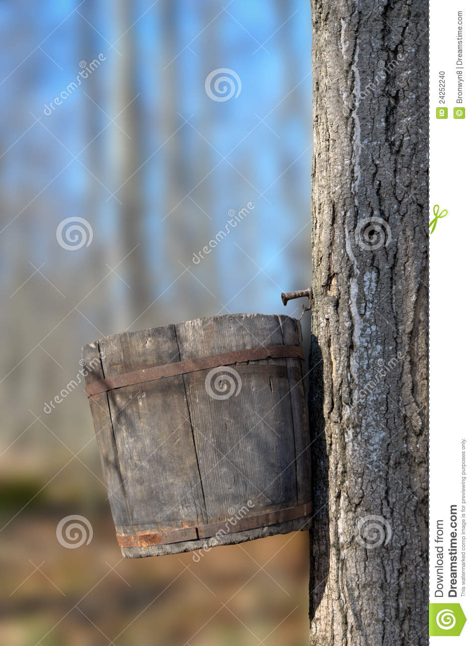 Wood Bucket On Maple Tree To Collect Sap For Making Sugar