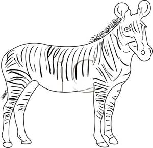 Black And White Adult Zebra   Royalty Free Clipart Picture