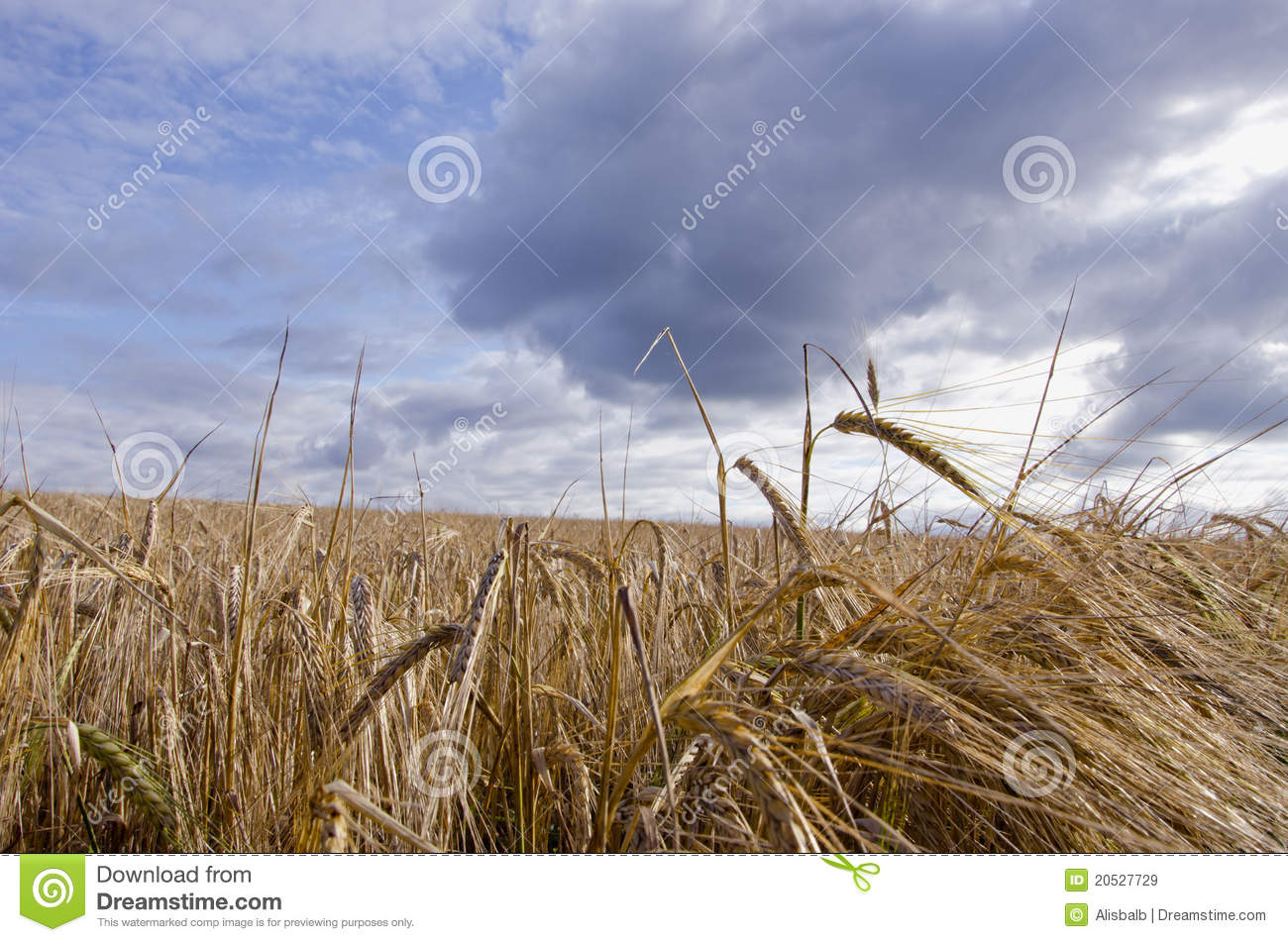 Barley Field Waiting Harvest Royalty Free Stock Images   Image