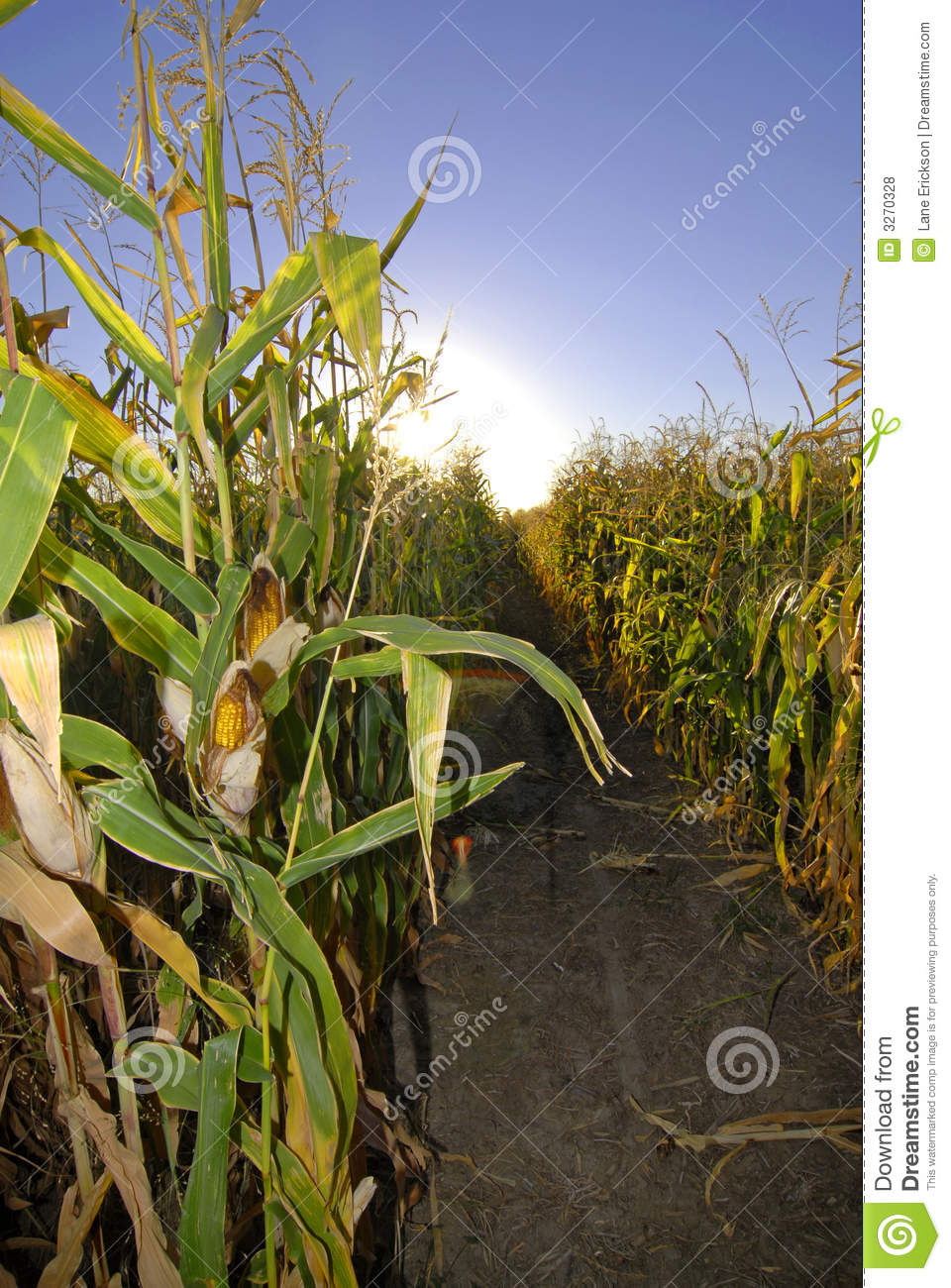Harvest Corn Field Royalty Free Stock Photos   Image  3270328