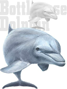 Bottlenose Dolphin Clipart Graphics  Free Clip Art