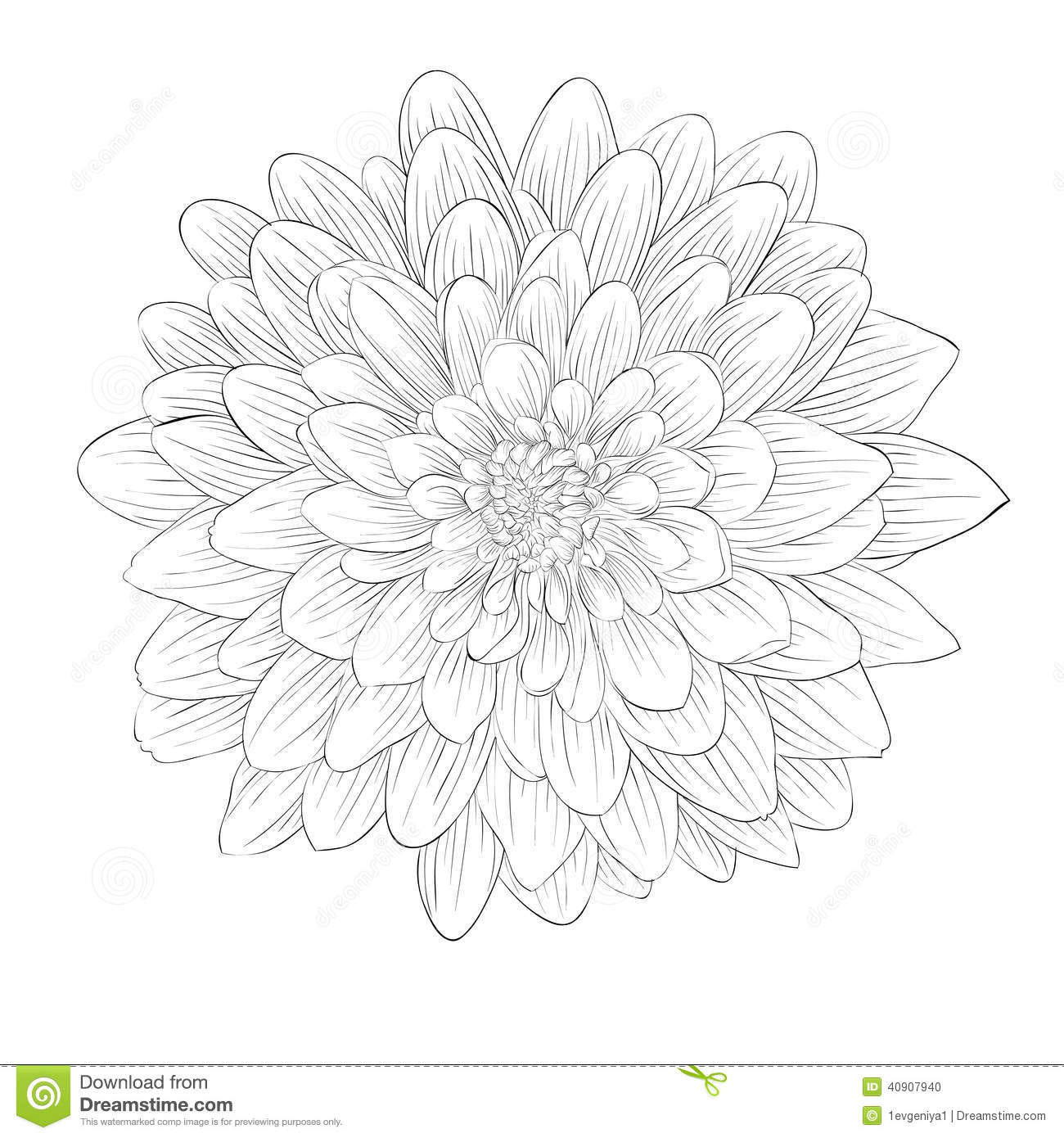 Monochrome Black And White Dahlia Flower Isolated On White Background