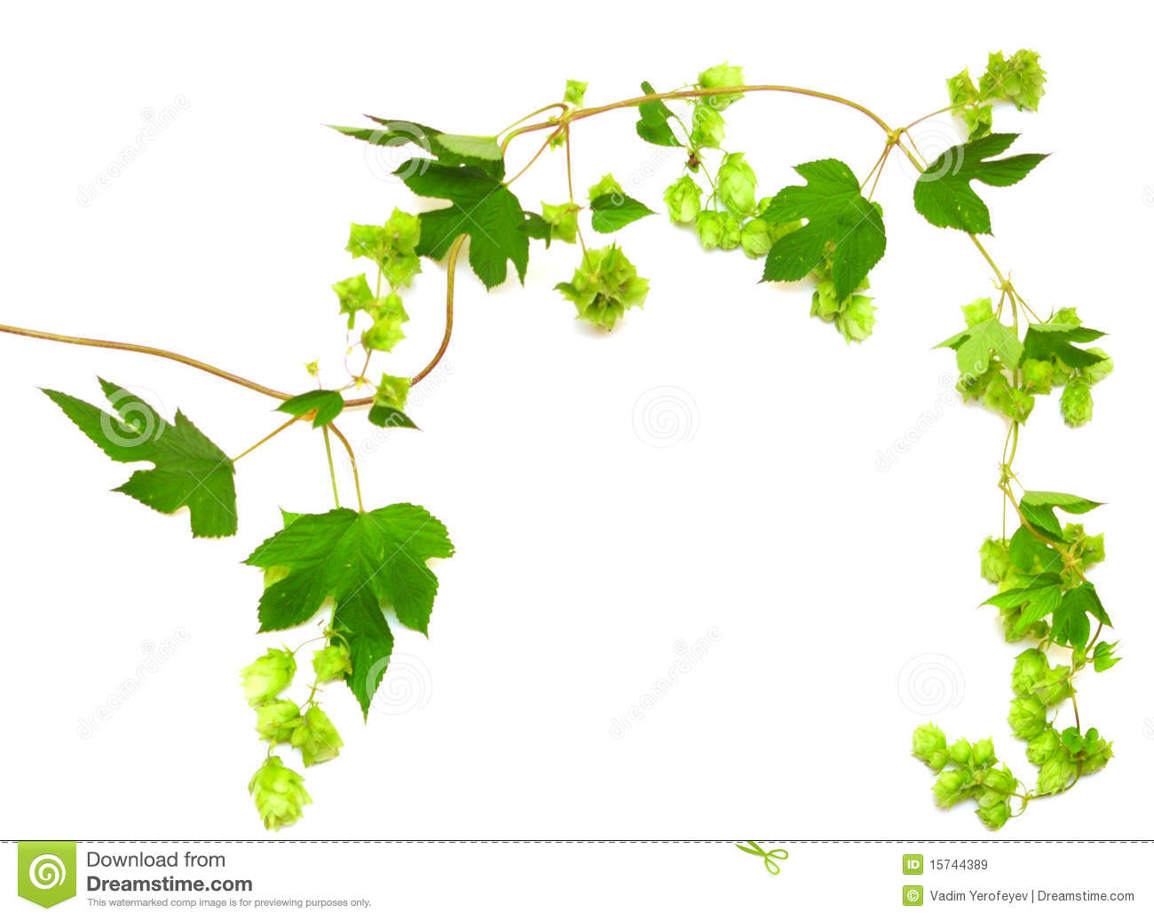 Hops And Barley Clip Art Hops Plant Twined Vine Royalty