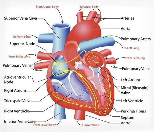 Cardiovascular System Clipart - Clipart Kid