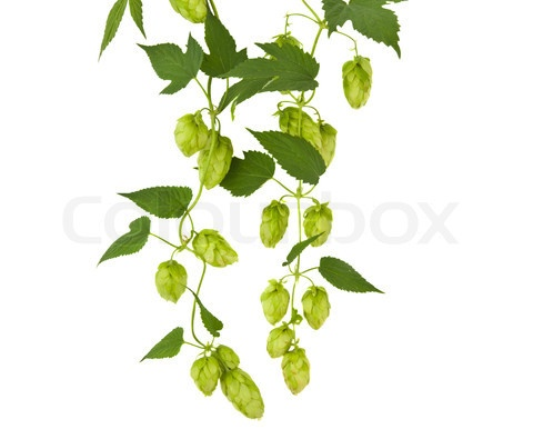 Com Preview 4766310 167332 Hops Plant Twined Vine Young Leaves Jpg