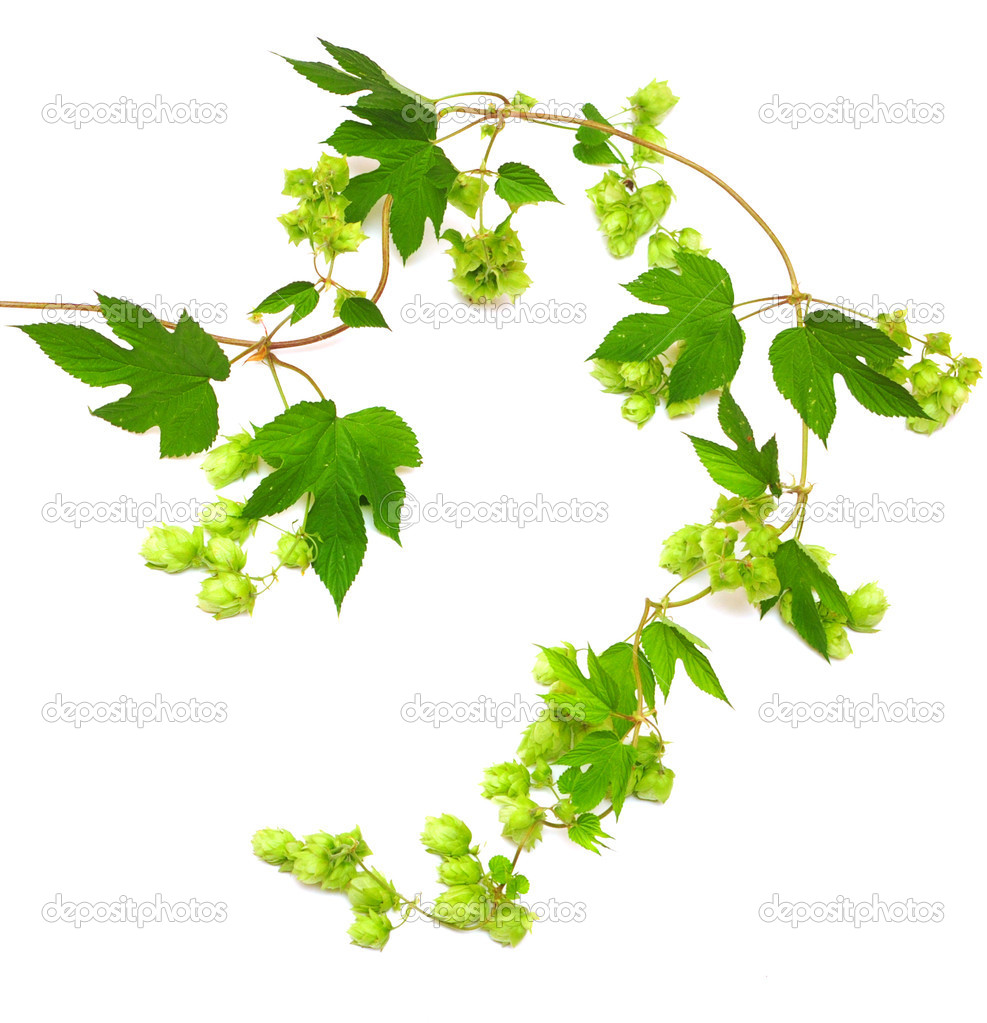 Hops Plant Twined Vine   Stock Photo   Inxti74  3711939