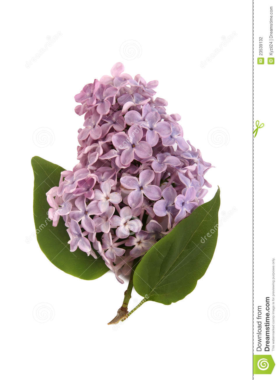 Beautiful Blooming Lilac Branch On White Background