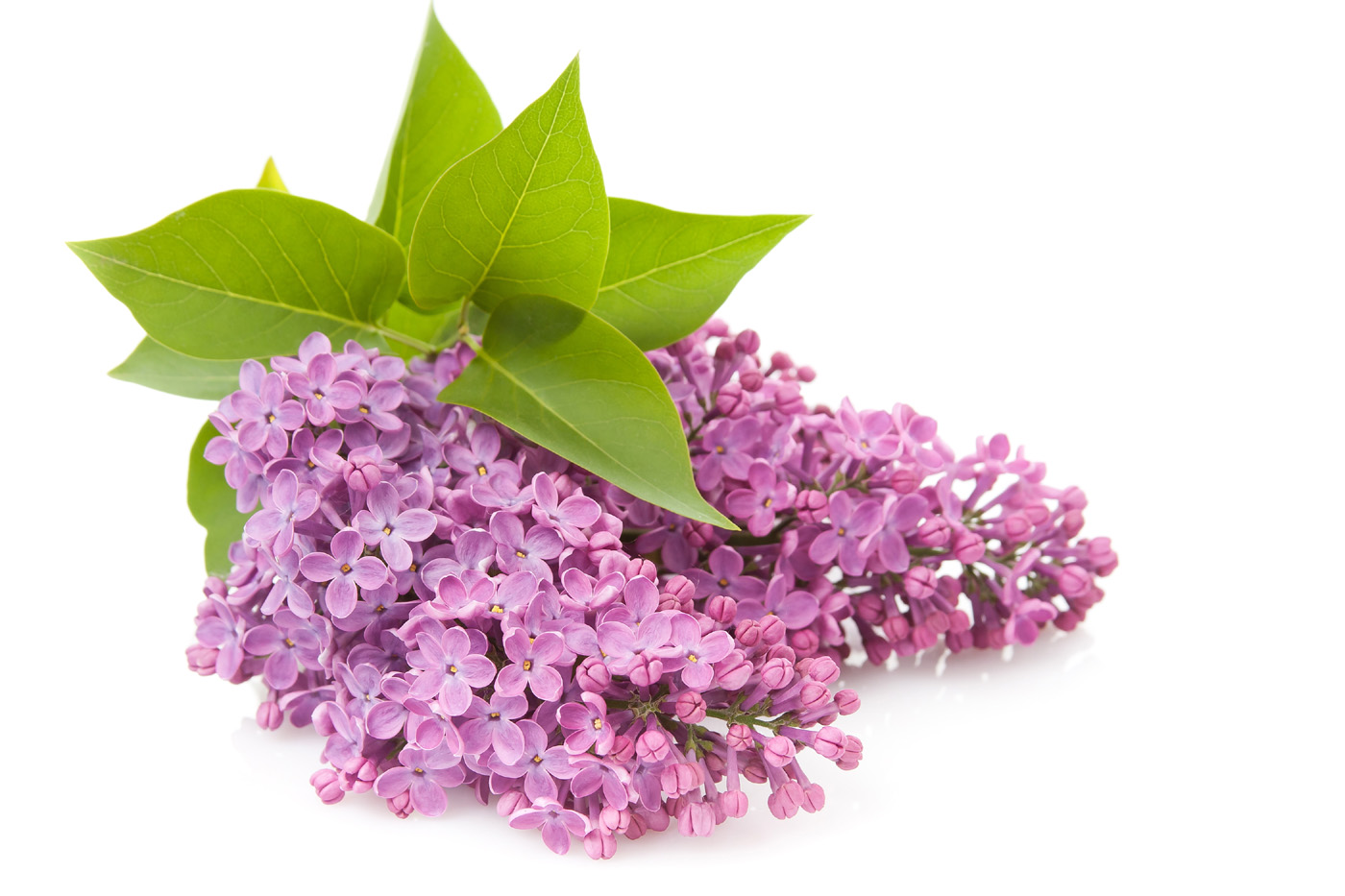 Lilac Flowers Clip Art