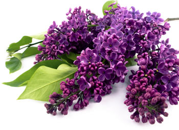 Syringa Vulgaris  Common Lilac    De Groot Inc