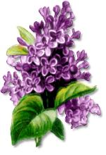 Tags Lilacs Flowers Purple Flowers Did You Know Lilacs Are A Symbol Of