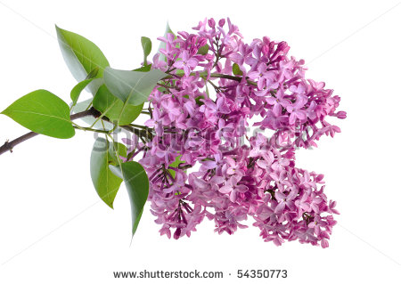 White Lilac Stock Photos Images   Pictures   Shutterstock