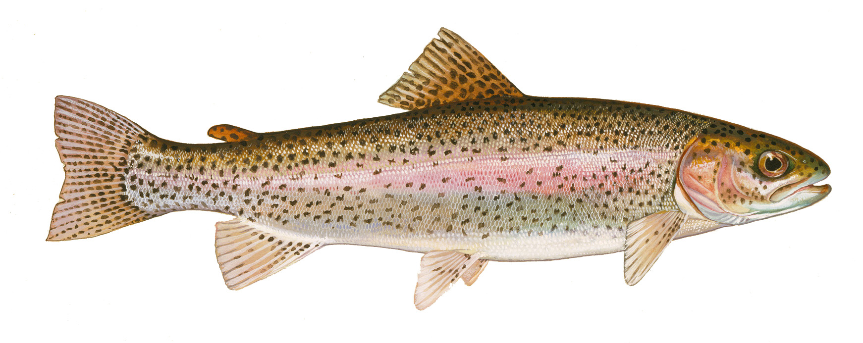 Interactive Image  Photo Of Rainbow Trout  Click For Larger Photo