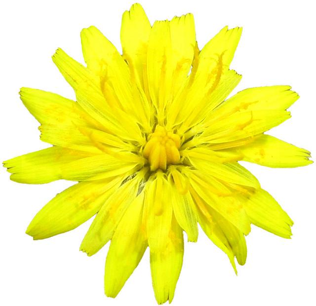 Dandelion Flower Clipart Lge 13 Cm