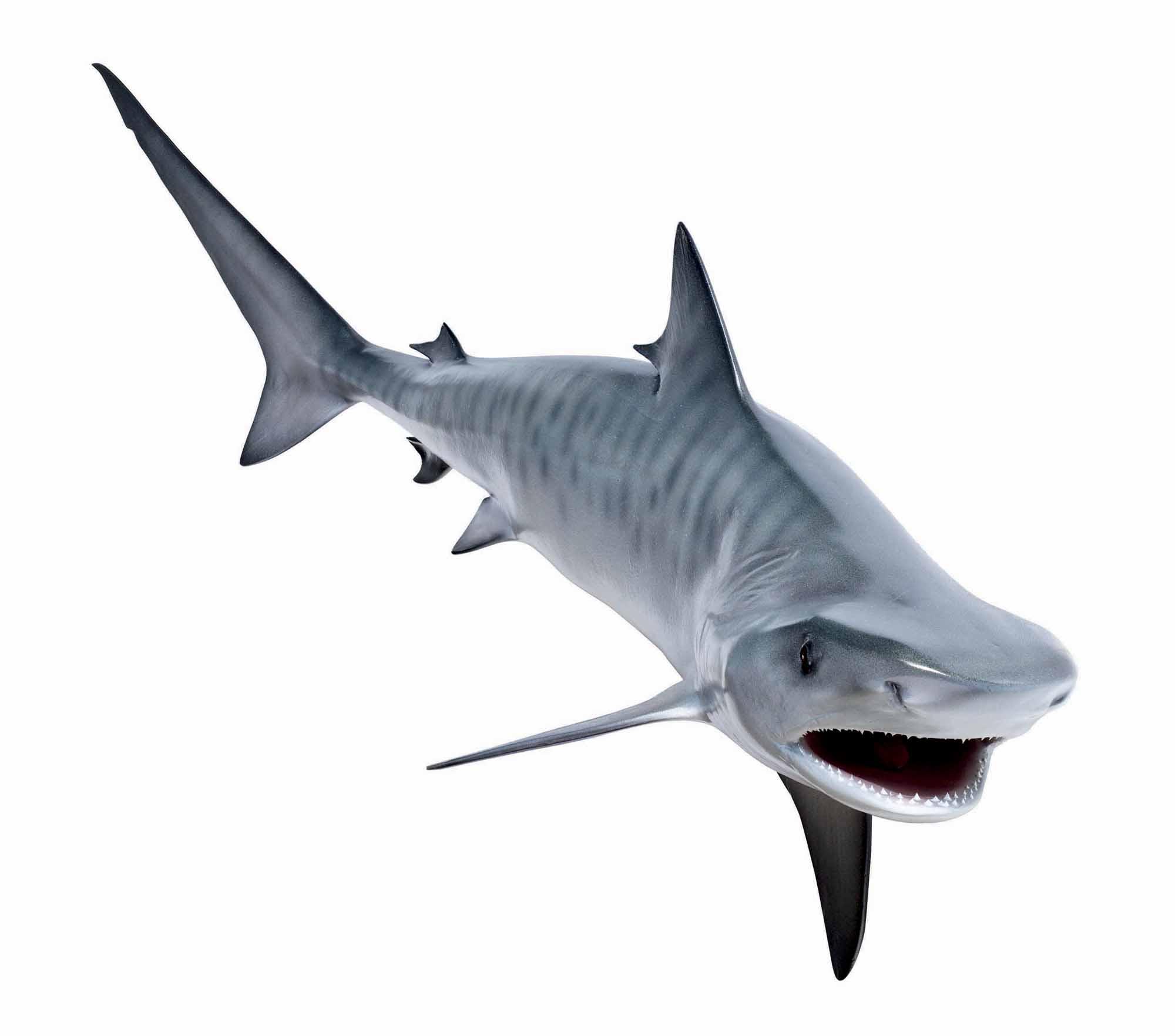 Tiger Shark Clipart - Clipart Kid