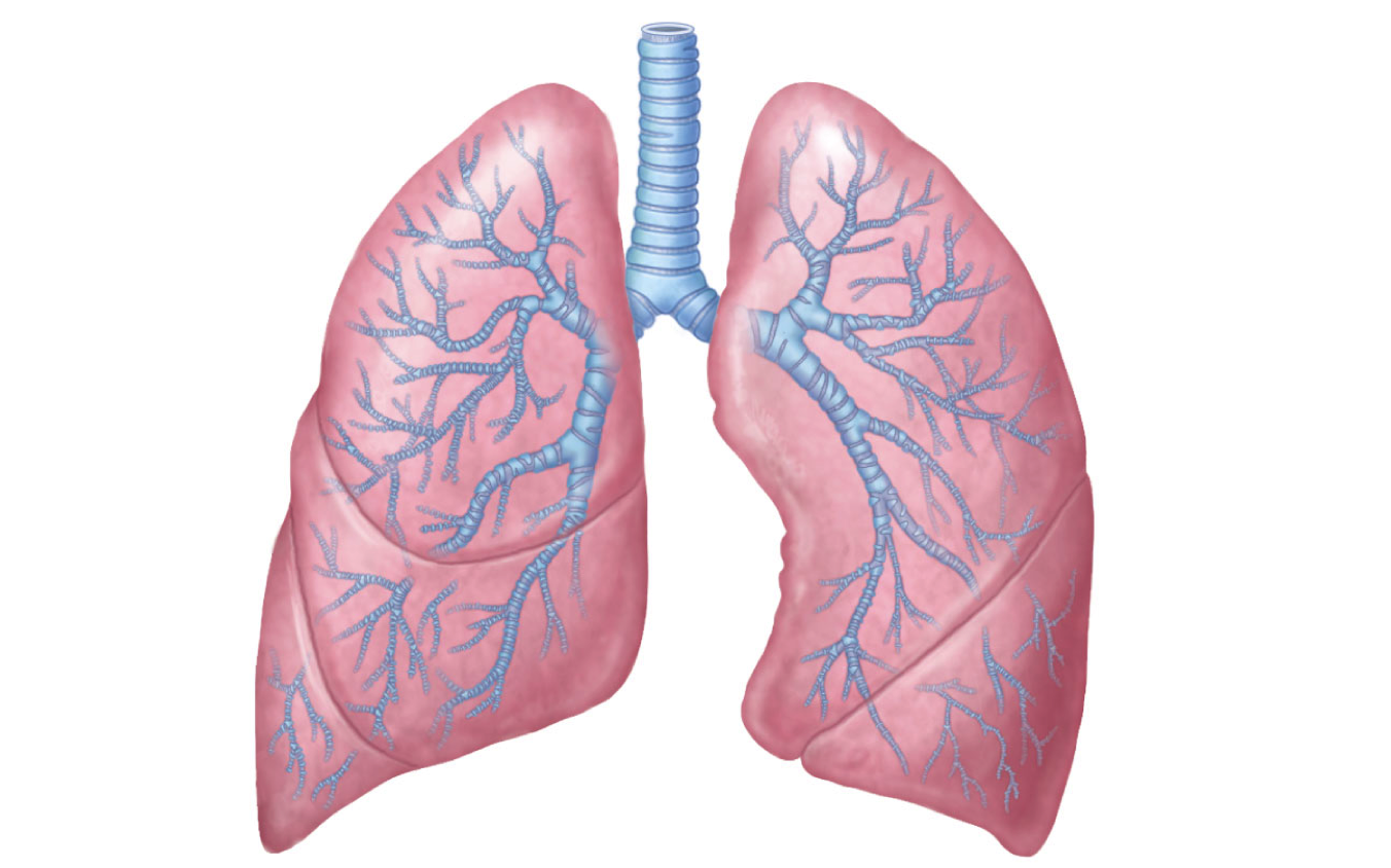 Lungs Clipart - Clipart Kid