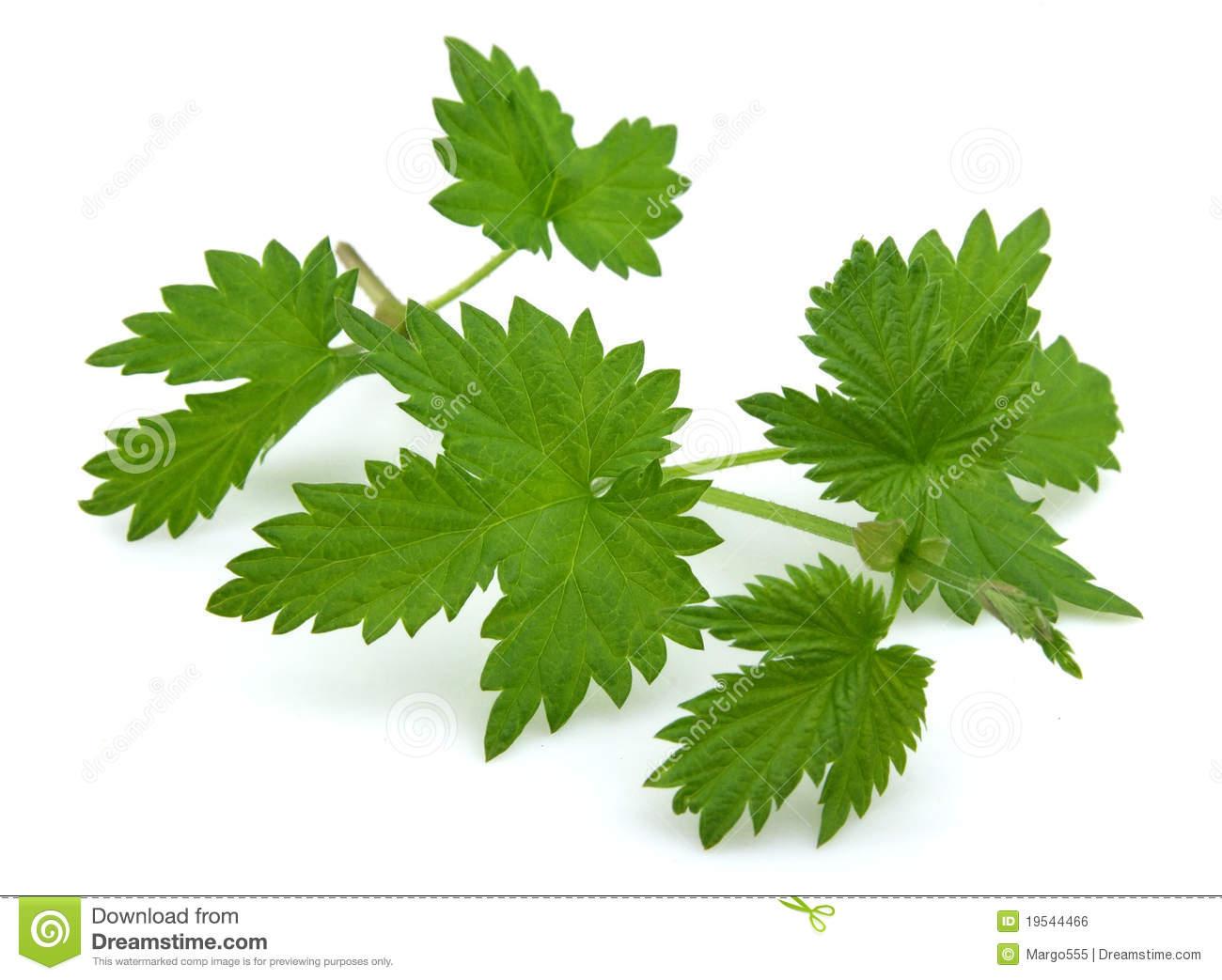 hops plant clipart clipart suggest