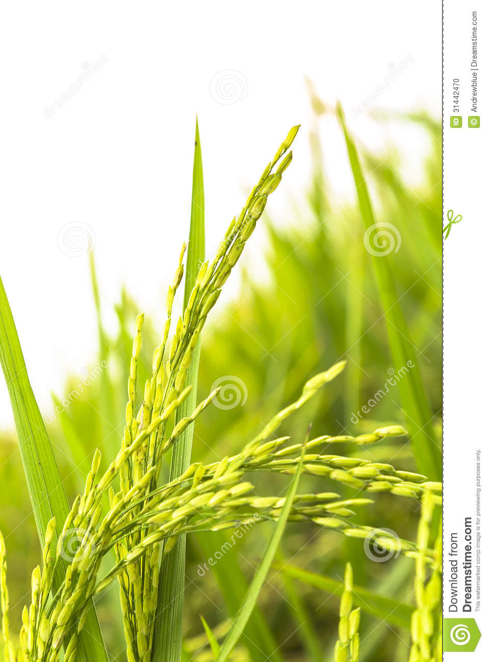 Golden Paddy Rice Stalk On White Background
